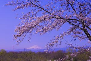 遠望富士山と城ヶ谷堤の桜の写真素材 [FYI04301856]