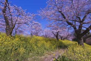 城ヶ谷堤の桜と菜の花と道の写真素材 [FYI04301857]