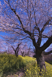 城ヶ谷堤の桜と菜の花と道の写真素材 [FYI04301858]