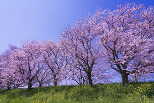 さくら堤公園の桜と菜の花の写真素材 [FYI04301864]