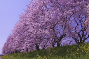 さくら堤公園の桜と菜の花の写真素材 [FYI04301865]