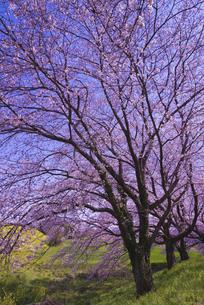 さくら堤公園の桜と菜の花の写真素材 [FYI04301866]