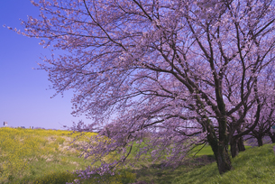 さくら堤公園の桜と菜の花の写真素材 [FYI04301867]