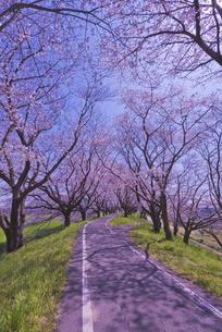 さくら堤公園の桜とサイクリングロードの写真素材 [FYI04301868]