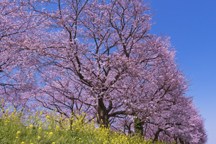 さくら堤公園の桜と菜の花の写真素材 [FYI04301869]