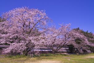 根岸家長屋門と桜 市指定文化財 建造物の写真素材 [FYI04301870]