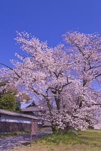 根岸家長屋門と桜 市指定文化財 建造物の写真素材 [FYI04301871]