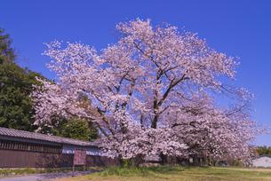 根岸家長屋門と桜 市指定文化財 建造物の写真素材 [FYI04301872]