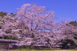 根岸家長屋門と桜 市指定文化財 建造物の写真素材 [FYI04301873]
