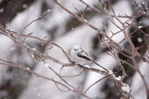 雪降りの中のシマエナガの写真素材 [FYI04301904]