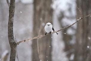 雪降りの中のシマエナガの写真素材 [FYI04301905]