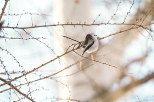 枝にたたずむシマエナガの写真素材 [FYI04301906]