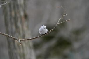 枝にたたずむシマエナガの写真素材 [FYI04301913]