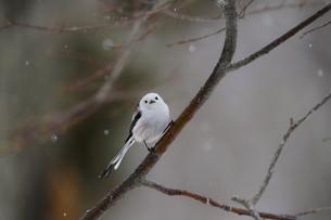 雪降りの中のシマエナガの写真素材 [FYI04301914]