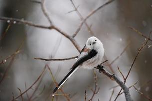 雪降りの中のシマエナガの写真素材 [FYI04301918]