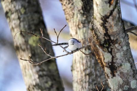 カエデの樹液にやって来たシマエナガの写真素材 [FYI04301922]