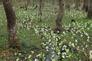 5月 戸隠森林公園に咲くミズバショウ群落の写真素材 [FYI04301945]