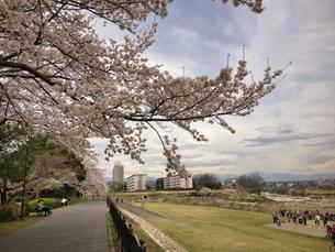2020 曇りでも桜は元気一杯 八王子浅川沿いでの写真素材 [FYI04301957]