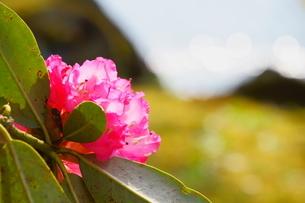 春の日差しを受けてキラキラする池の近くに咲くツツジの写真素材 [FYI04302000]