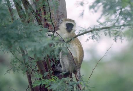 樹木にしがみつくサバンナモンキーの写真素材 [FYI04302160]