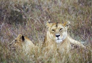 草原でくつろぐライオンの写真素材 [FYI04302164]