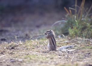 地面で餌を食べるリスの仲間の写真素材 [FYI04302167]