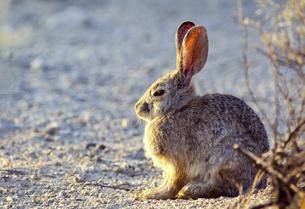 アメリカの砂漠で生きるウサギの写真素材 [FYI04302168]