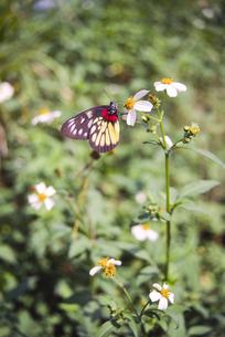香港の花とチョウの写真素材 [FYI04302171]