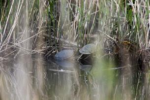 湖畔の草むらで憩うミシシッピアカミミガメの写真素材 [FYI04302178]