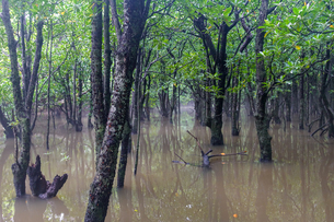 マングローブの森の写真素材 [FYI04302238]