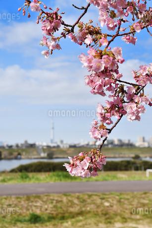 江戸川土手の河津桜の写真素材 [FYI04302255]