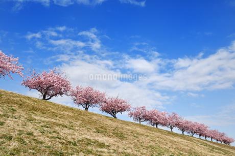 江戸川土手の河津桜の写真素材 [FYI04302256]
