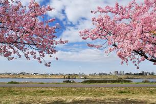 江戸川土手の河津桜の写真素材 [FYI04302257]