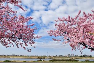 江戸川土手の河津桜の写真素材 [FYI04302258]