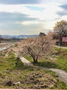 2020 Spring 4/1八王子 浅川河川敷大和田橋より平山城址公園方面撮影の写真素材 [FYI04302272]