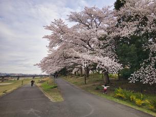 2020 Spring 4/1八王子多賀公園 浅川河川敷にて撮影の写真素材 [FYI04302276]
