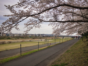2020 Spring 4/1八王子多賀公園 浅川河川敷にて撮影の写真素材 [FYI04302278]