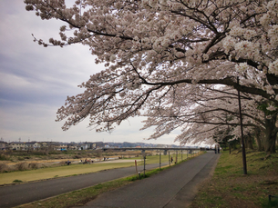 2020 Spring 4/1八王子多賀公園 浅川河川敷にて撮影の写真素材 [FYI04302281]