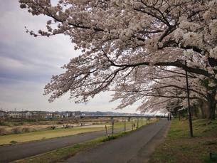 2020 Spring 4/1八王子多賀公園 浅川河川敷にて撮影の写真素材 [FYI04302285]