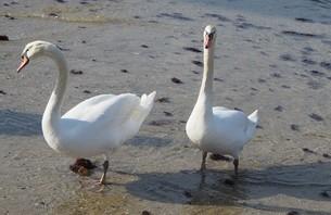 白鳥(歩く)の写真素材 [FYI04302385]