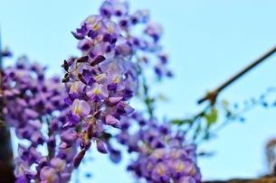 フジの花の写真素材 [FYI04302396]