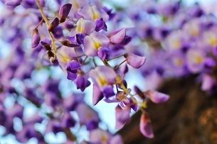 フジの花の写真素材 [FYI04302397]