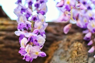 フジの花の写真素材 [FYI04302398]