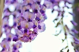 フジの花の写真素材 [FYI04302399]