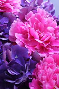 濃い青紫色のアジサイの中にピンクの芍薬の写真素材 [FYI04302466]