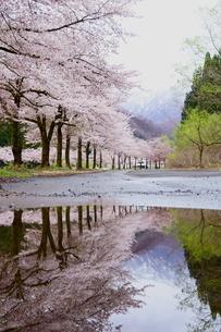 雨上がりの桜並木の写真素材 [FYI04302479]