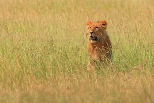 ライオンの写真素材 [FYI04302498]