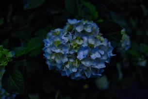 紫陽花の写真素材 [FYI04302567]