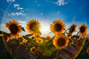 太陽のヒマワリの写真素材 [FYI04302568]
