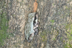 樹木の幹に同化してへばりつく二ホンアマガエルの写真素材 [FYI04302612]